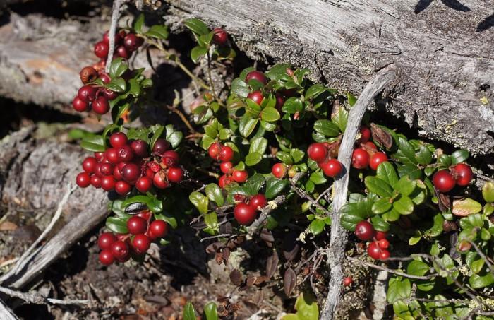 Брусника, вкуснейшая северная ягода, фото Tatters