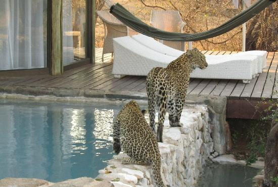 leopard-and-her-two-cubs